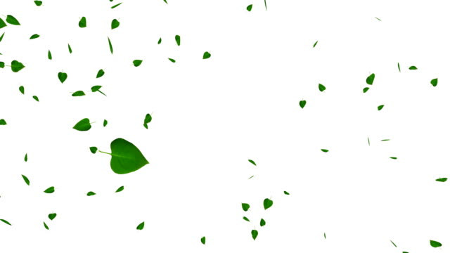 Green leaves isolated on white, loop, with matte. video
