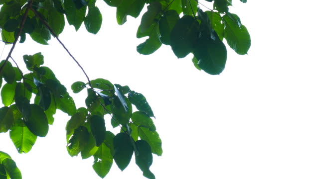 green leaves isolated video
