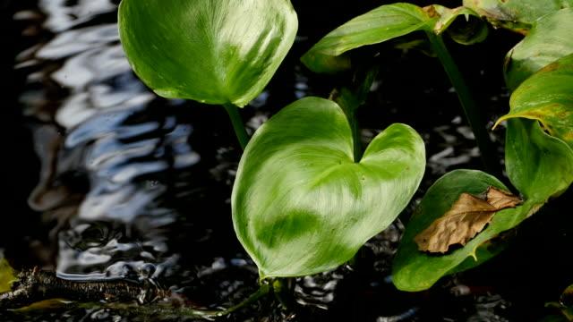 green leaves marsh calla