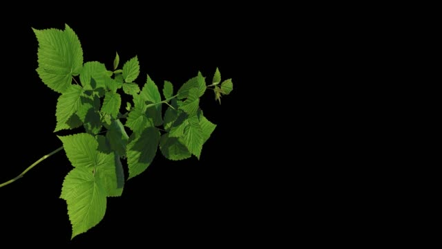 Green leaves of a tree waving in the wind on an isolated background screen Green leaves of a tree waving in the wind on an isolated background screen green leaf stock videos & royalty-free footage