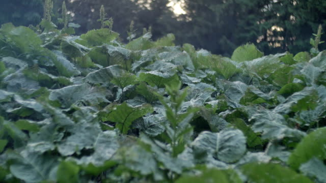 Green Leaves Of Burdock Shakes On The Wind In Forest Smooth
