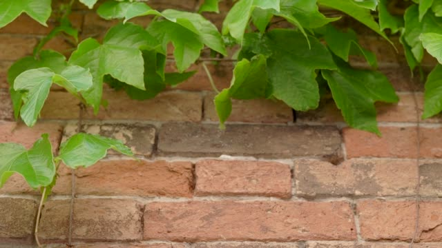 vídeos de stock e filmes b-roll de green leaves of ivy branches hanging on red brick old wall in city, close-up outdoors in summer - ivy building