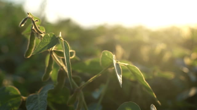 green leaves of soy bean in hand. slow motion - piantagione video stock e b–roll