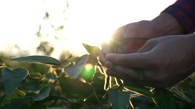 vídeos de stock e filmes b-roll de green leaves of soy bean in hand. slow motion - estufa estrutura feita pelo homem