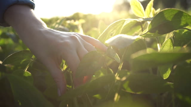 green leaves of soy bean in hand. slow motion - plants stock videos & royalty-free footage