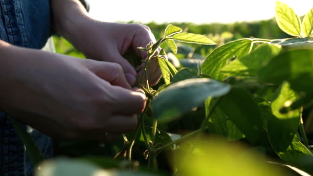 Green leaves of soy bean in hand. Slow motion video