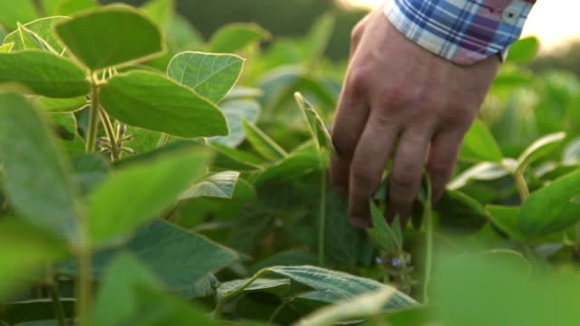 Green leaves of soy bean in hand. video