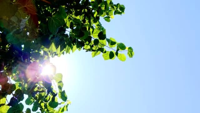 青空に対する白桑の緑の葉 - 木漏れ日点の映像素材/bロール
