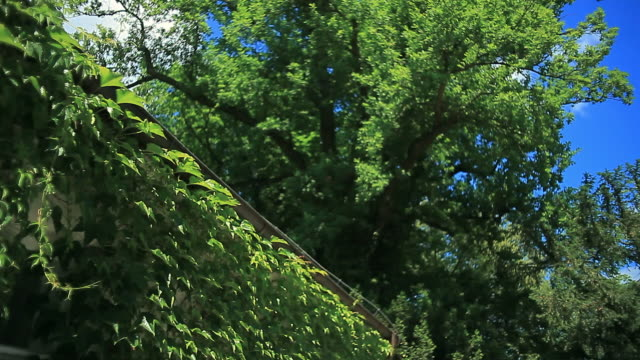 Green leaves on blue sky. House covered with ivy video