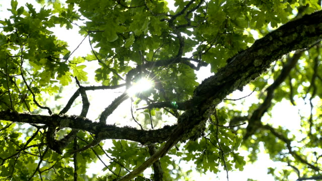 Green leaves on the branch of the oak tree video