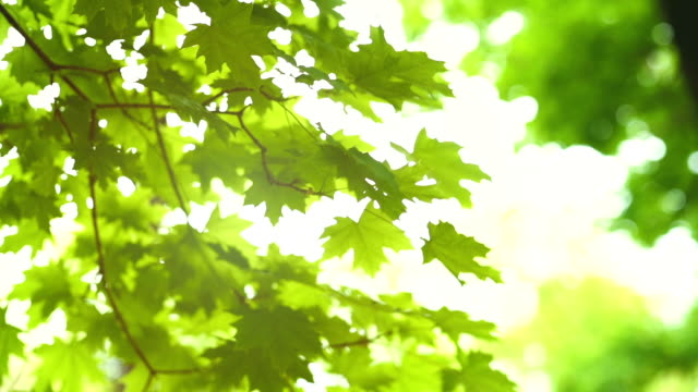 Green leaves on tree branch blowing. The sun rays shine and twinkle through the leaves and branches Green leaves on tree branch blowing. The sun rays shine and twinkle through the leaves and branches. branch plant part stock videos & royalty-free footage
