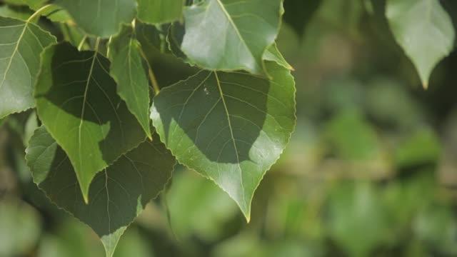 gröna blad svänga i vinden. - eucalyptus leaves bildbanksvideor och videomaterial från bakom kulisserna