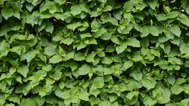 녹색 나뭇잎 벽입니다. 녹색 바람에 떨리는 나뭇잎. 배경입니다. 전면 보기 - 아이비 스톡 비디오 및 b-롤 화면