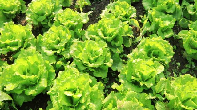 green lettuce in growth at vegetable garden - lattuga video stock e b–roll