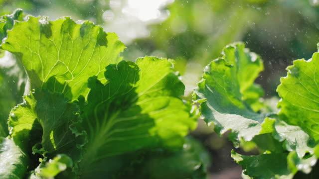 grüner salat im regen - gemüsegarten stock-videos und b-roll-filmmaterial