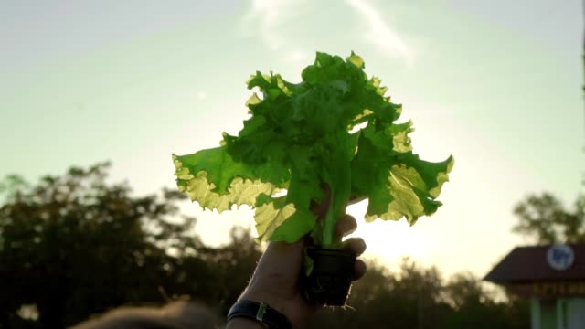 green lettuce on the background of the sun hydroponically grown