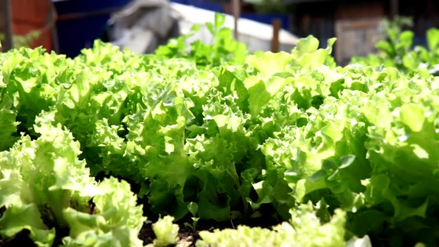 green lettuce plants or salad vegetable cultivation. Concept of healthy eating. Farming. Food production. Green Lettuce leaves on garden beds in the vegetable field. Gardening green Salad plants in the open ground. agricultural occupation stock videos & royalty-free footage