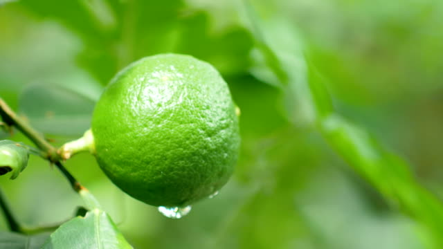 green lime with dew on blurred background