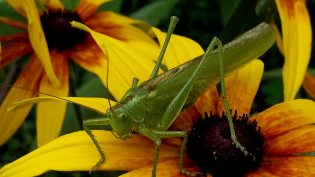 Green locust on flower video