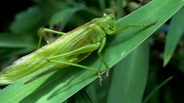 Green Locust Sitting on a Leaf on a Summer Day video