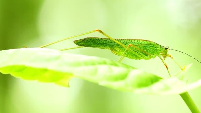 Green Locust sitting on leaf in forest.