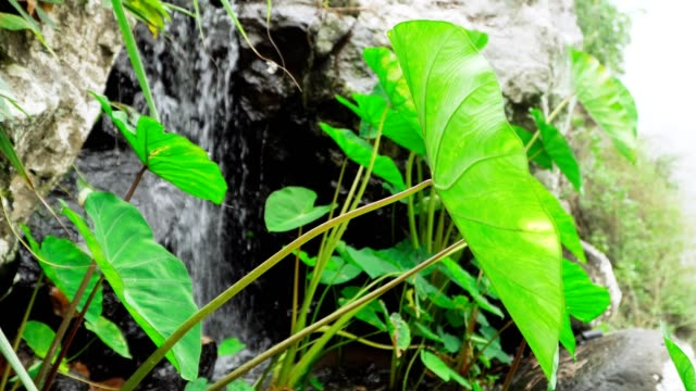 vídeos de stock e filmes b-roll de green lotus leafs with small waterfall spring in background. 4k footage close-up. concept: relaxation, wellness, body care, spa, nature, health and aromatherapy and scents - cabo verde