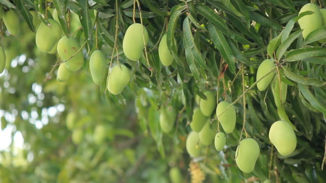 Green mangoes fruit on tree against the wind  mango stock videos & royalty-free footage