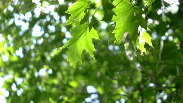vídeos de stock e filmes b-roll de green maple leaves against blue sky in 4k - leaf
