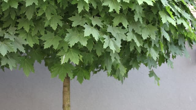 Green maple tree near a wall Green maple tree near a wall in loft estate loft apartment stock videos & royalty-free footage