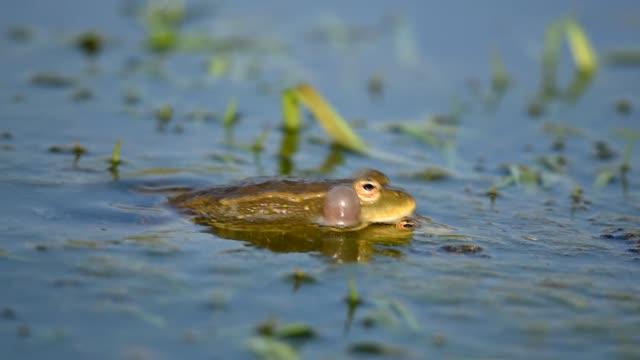 grüner sumpffrosch krächzt und paart sich im teich. pelophylax ridibundus - fruchtwasserbeutel oder dottersack stock-videos und b-roll-filmmaterial