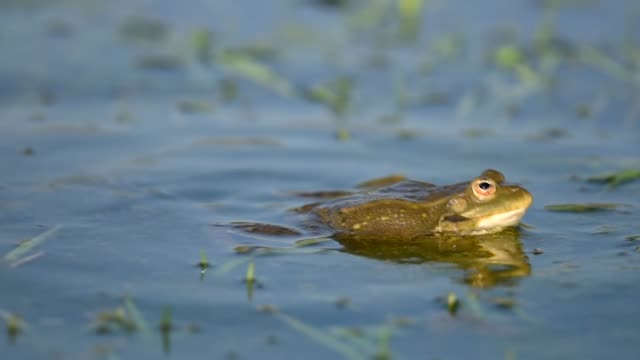 Green Marsh Frog croaking and mating in the pond. Pelophylax ridibundus Green Marsh Frog croaking and mating in the pond. Pelophylax ridibundus. sac stock videos & royalty-free footage