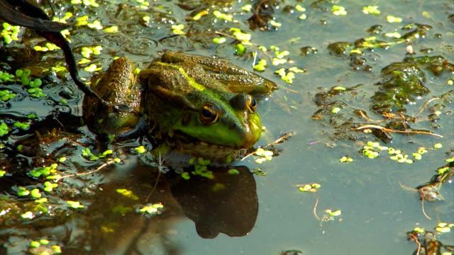 Green marsh frog. HD. Green marsh frog.  duckweed stock videos & royalty-free footage