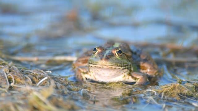 green marsh frog (außer ridibundus) im natürlichen lebensraum. close up portrait - fruchtwasserbeutel oder dottersack stock-videos und b-roll-filmmaterial