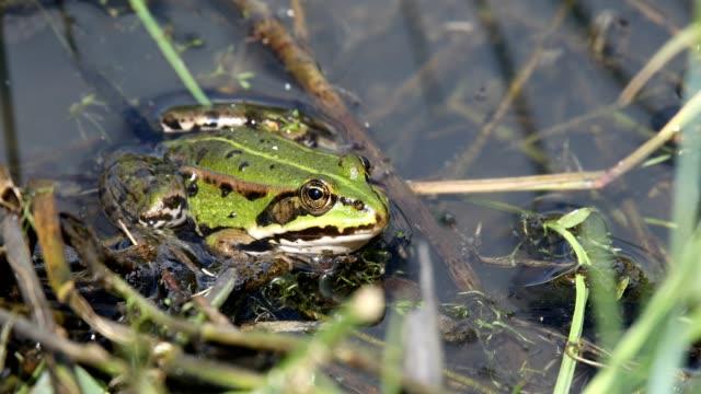 green marsh frog on pond, European wildlife green marsh frog (Pelophylax ridibundus),largest frog native to Europe, Czech, European wildlife marsh stock videos & royalty-free footage