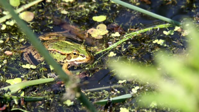 green marsh frog on pond, European wildlife video
