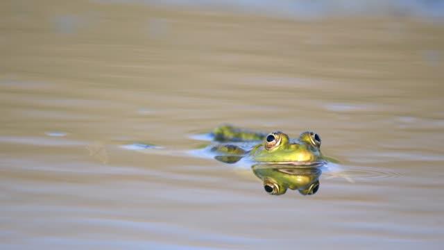 green marsh frog strizza l'occhio allo stagno. pelofilassi ridibundus - anfibio video stock e b–roll
