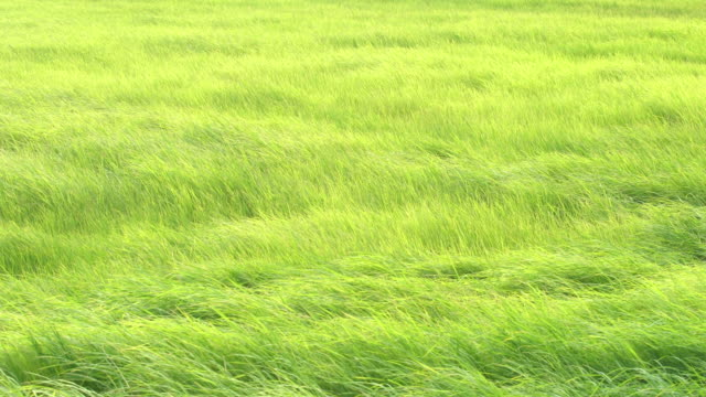 Green Meadow in the wind breeze rural scene day time Green Meadow in the wind breeze rural scene day time grass area stock videos & royalty-free footage