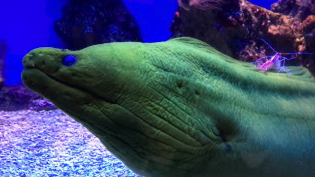 Green Moray Eel & Shrimp video
