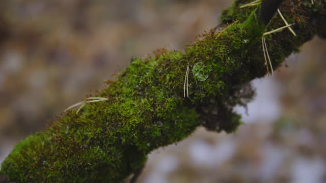 green moss on a tree branch in an autumn forest. cinematic shot. nature, landscape video