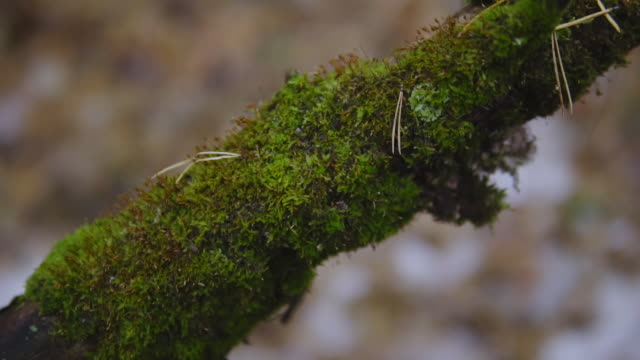 green moss on a tree branch in late fall. cinematic shot, slow motion. close-up video