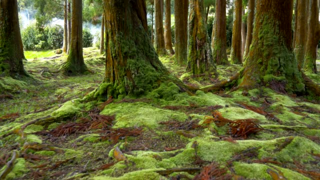 green moss on the ground and trunks of trees in the forest. sao miguel island, portuguese archipelago of the azores. steadicam shot - portogallo video stock e b–roll