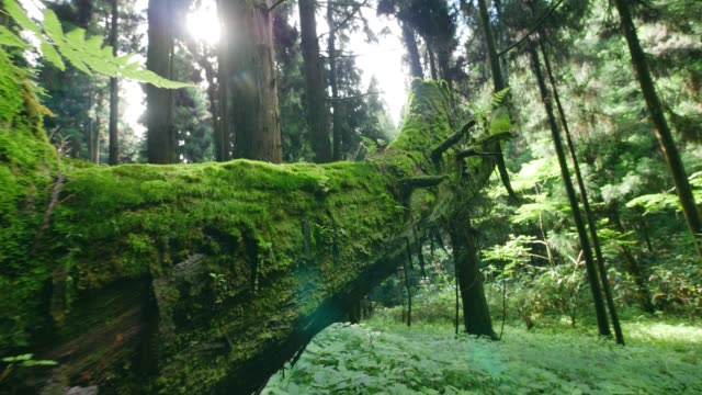 Green moss on the trunk of an old rotten tree Green moss on the trunk of an old rotten tree moss stock videos & royalty-free footage