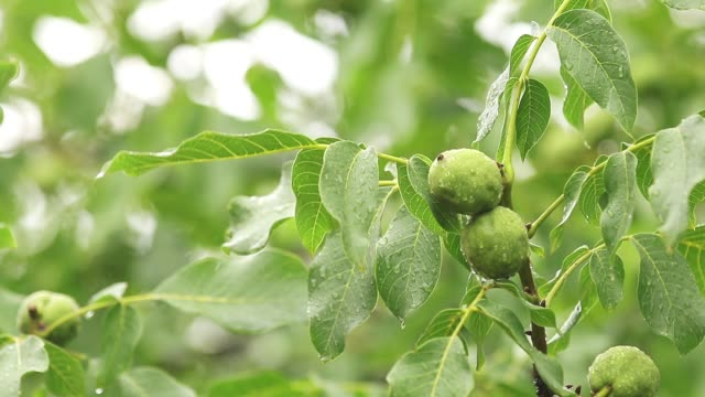 Green nuts on the branch with water drops in the garden. Trees in the rain, close up, dynamic scene, toned video. video