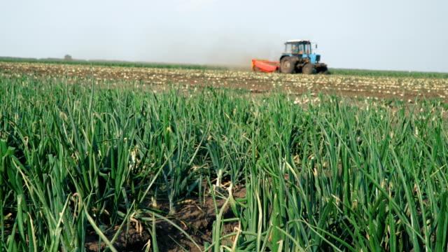 Green onion field. Green onion field. Harvesting onion crop. Agriculture industry scene. Autumn season time. onion stock videos & royalty-free footage