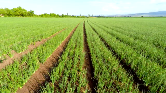 Green onions field, aerial Aerial view of green onions field onion stock videos & royalty-free footage