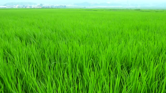 Green paddy field blowing in the wind