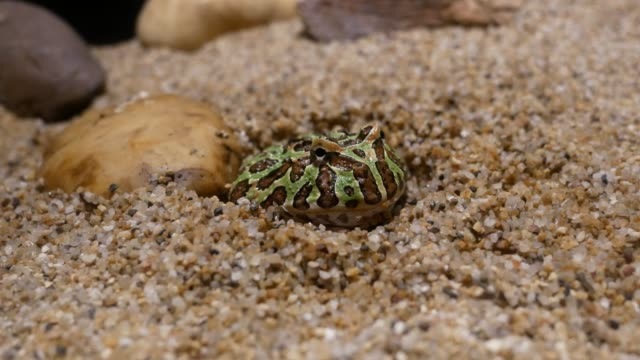 Green Paddy Frog. The green frog is buried in the sand. video