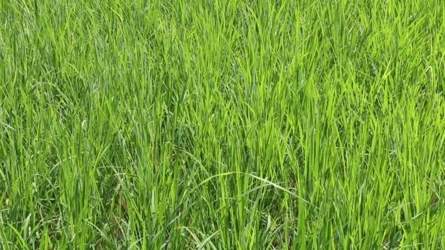 フィールドに、チェンマイでご飯粒ツリー グリーン水稲 - 熟していない点の映像素材/bロール