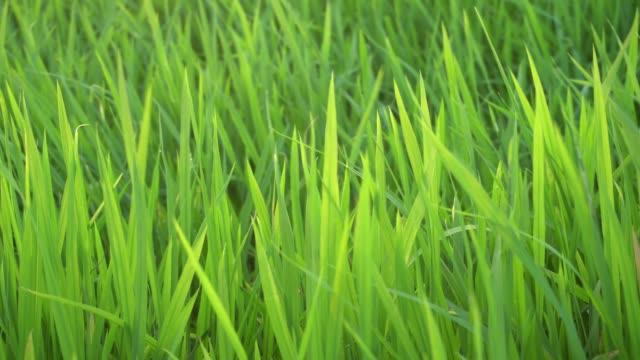 grünes paddy mit abend - strohhut stock-videos und b-roll-filmmaterial
