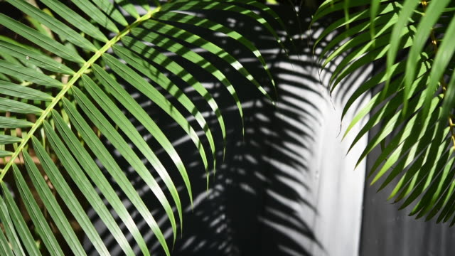 Green palm leaf shade and shadow in the morning light